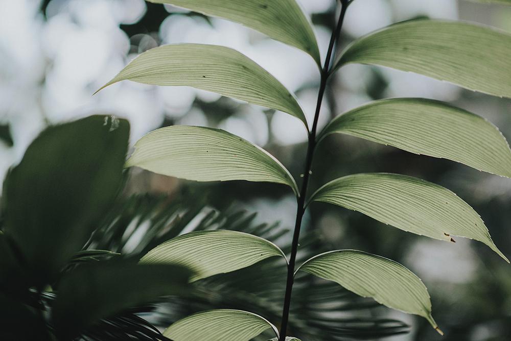 liść pod światło