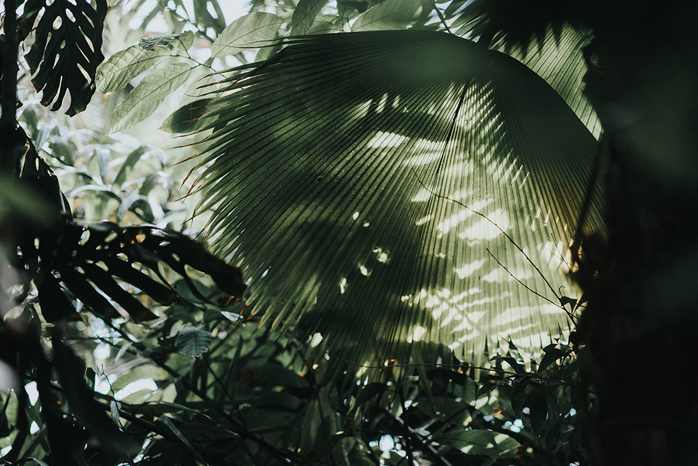 ogromny liść palmiarnia