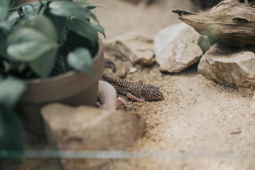 palmiarnia poznań gekon