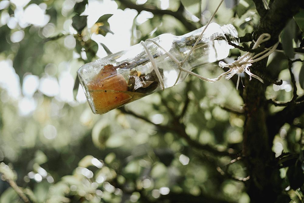 gruszka w butelce drzewo sad