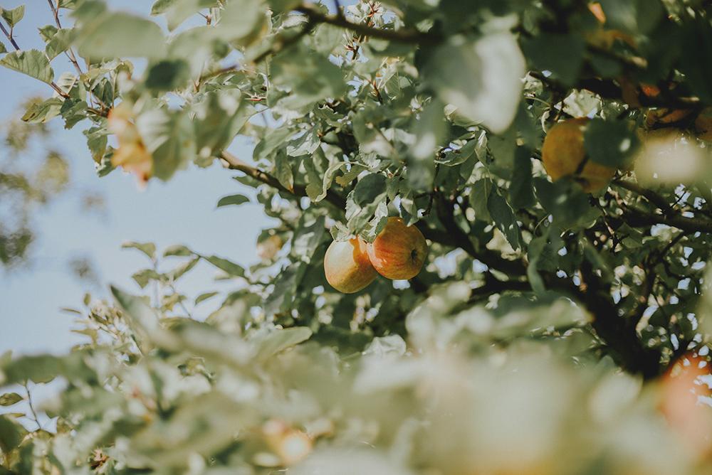 jabłoń jabłka jesień