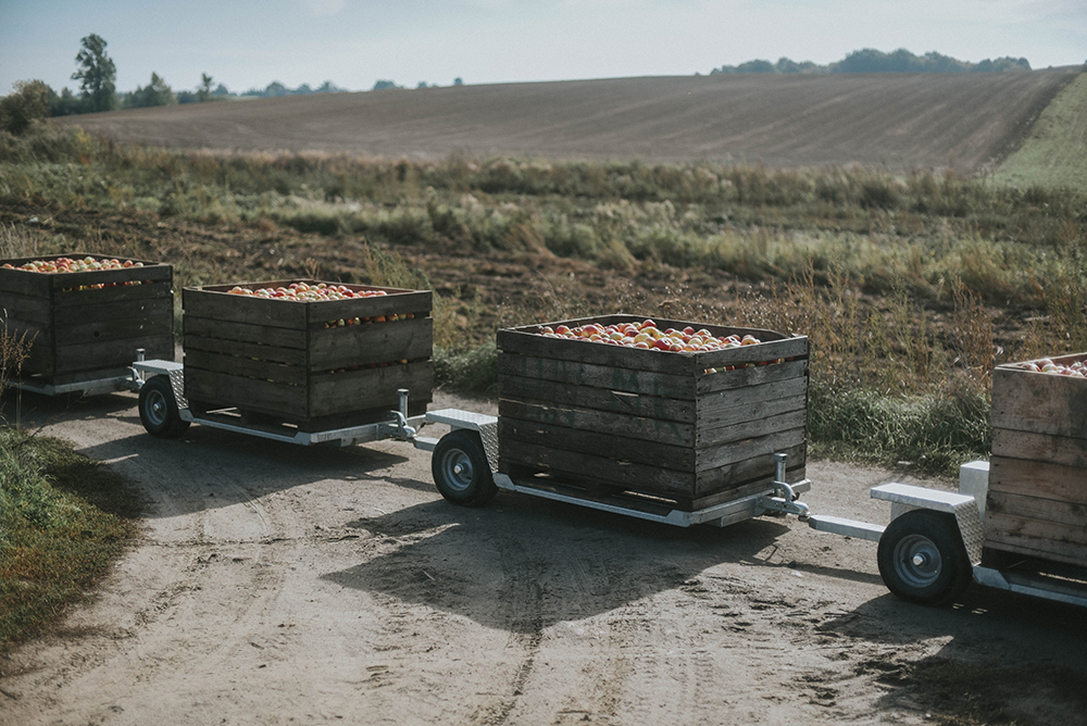 jabłka sad zbiory jesień