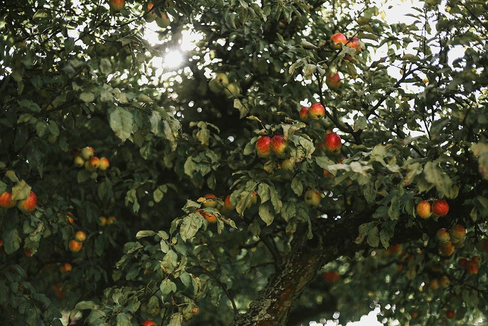 jabłoń sad jabłka jesień