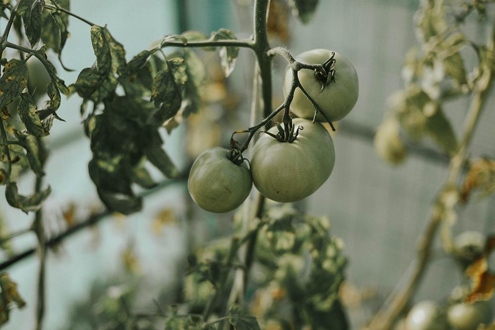 zielone pomidory szklarnia