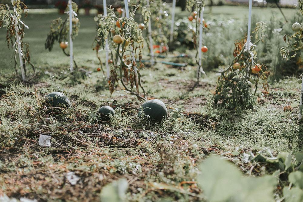 arbuzy ogród