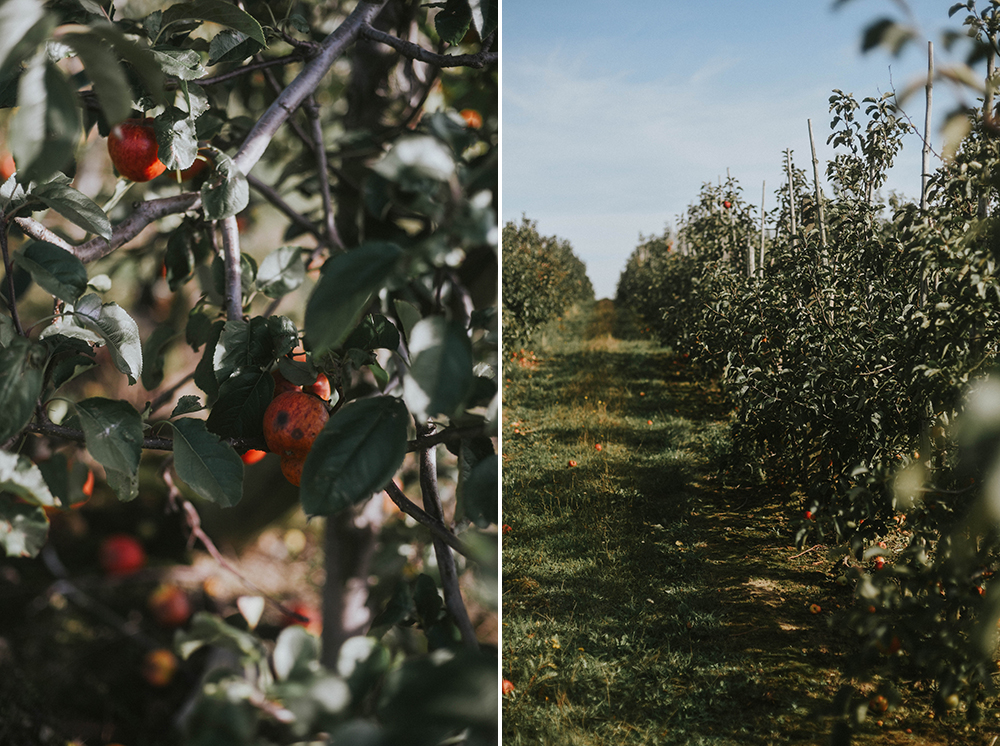 jabłka sad pszczółki pomorskie