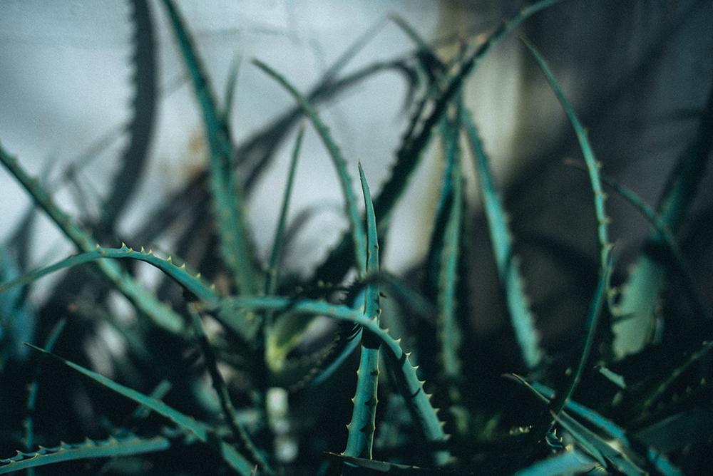 kaktusiarnia rumia aloes