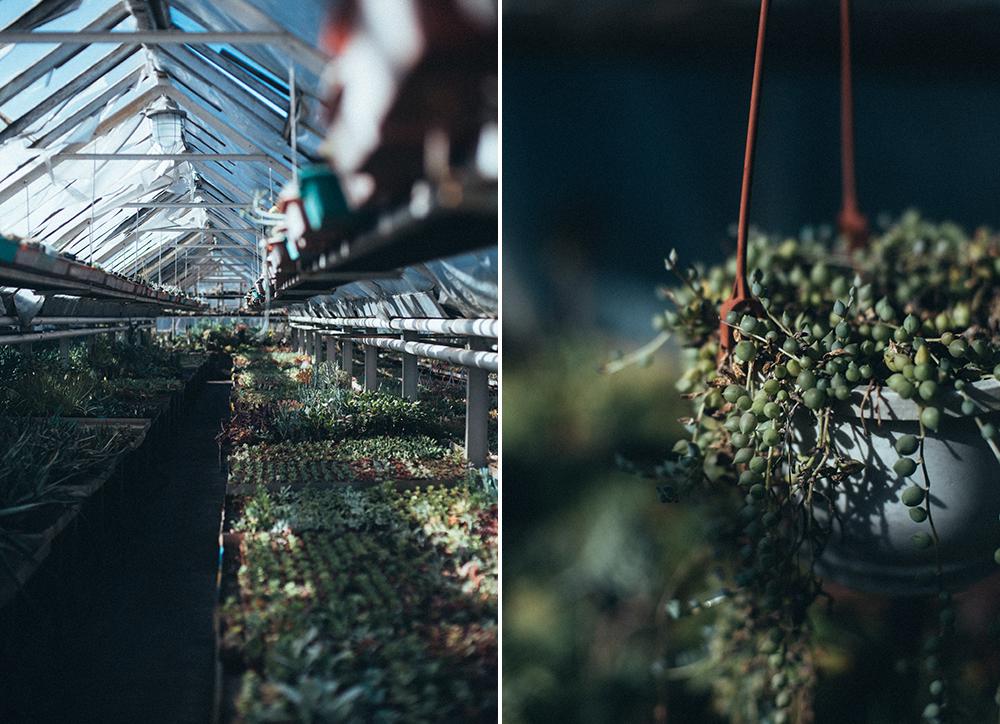 kaktusiarnia rumia wiszący sukulent