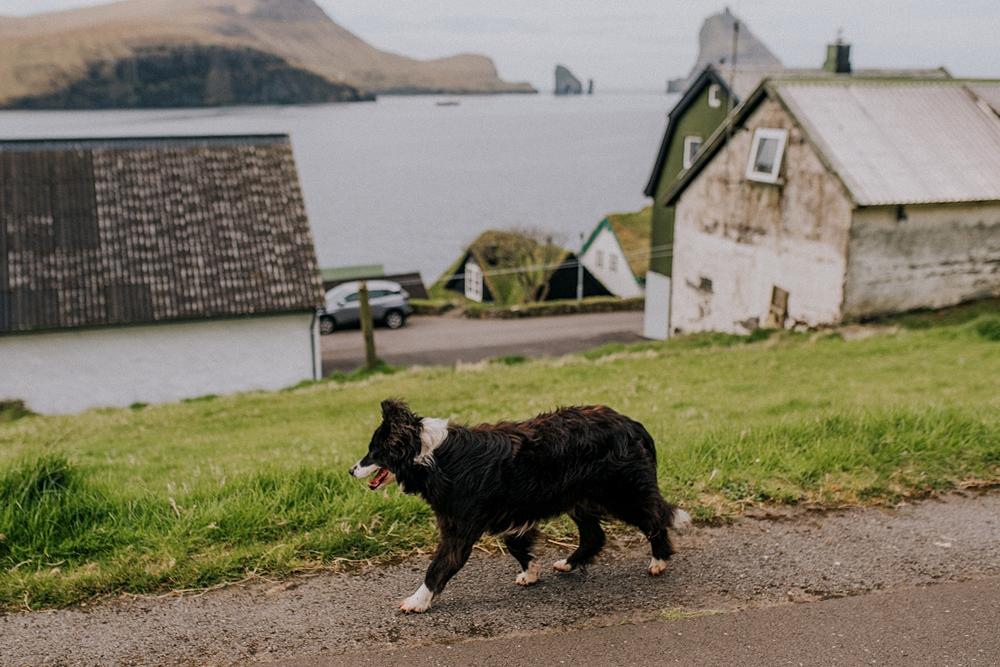 Wyspy owcze Vágar Bøur pies border collie